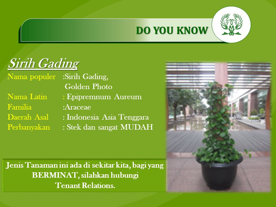 .…………… DO YOU KNOW …………… Sirih Gading Nama populer:Sirih Gading, Golden Photo Nama Latin: Epipremnum Aureum Familia:Araceae Daerah Asal: Indonesia Asi