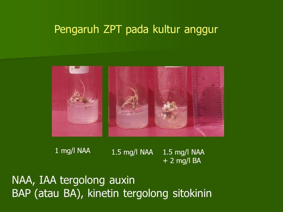 Pengaruh ZPT pada kultur anggur 1 mg/l NAA 1.5 mg/l NAA + 2 mg/l BA NAA, IAA tergolong auxin BAP (atau BA), kinetin tergolong sitokinin