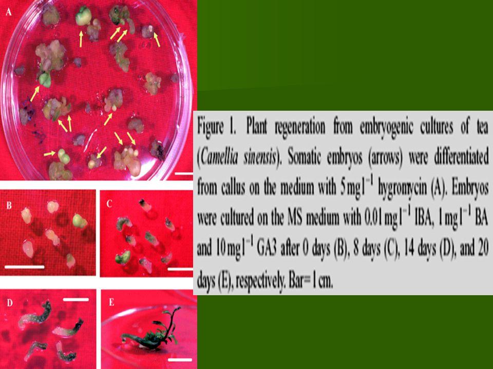 Keuntungan utama Plant improvement Somaclonal variation dapat menciptakan tambahan variabilitas genetik