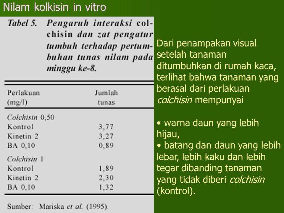 Nilam kolkisin in vitro Dari penampakan visual setelah tanaman ditumbuhkan di rumah kaca, terlihat bahwa tanaman yang berasal dari perlakuan colchisin
