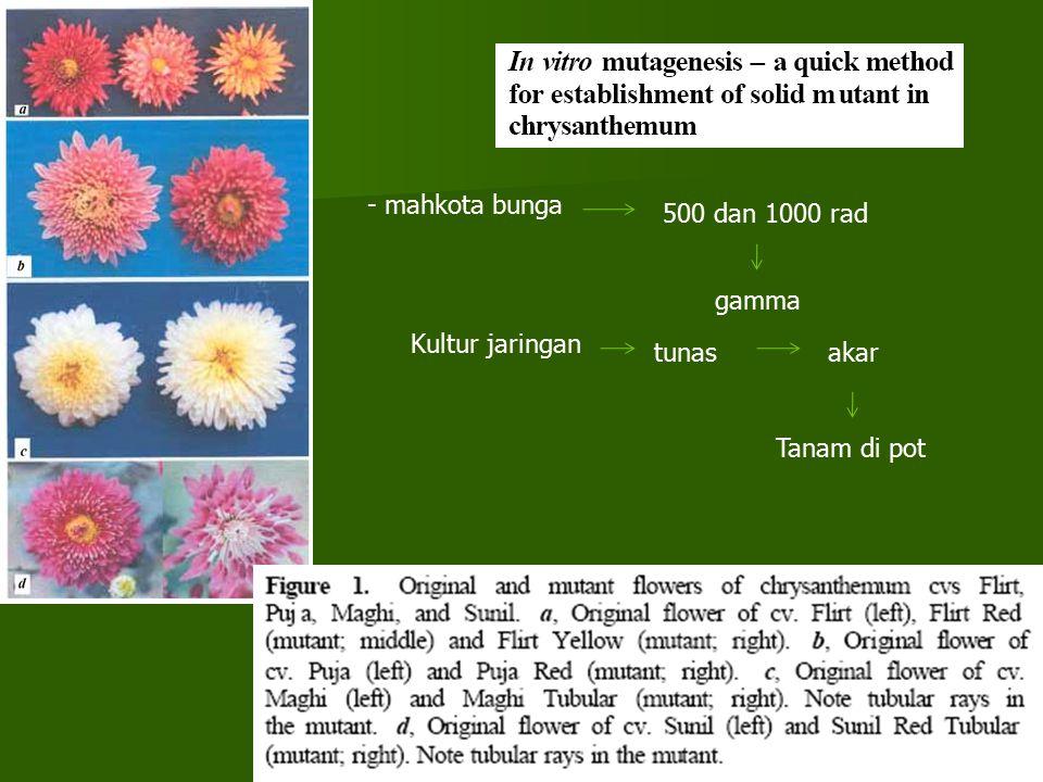 - mahkota bunga 500 dan 1000 rad gamma Kultur jaringan tunasakar Tanam di pot