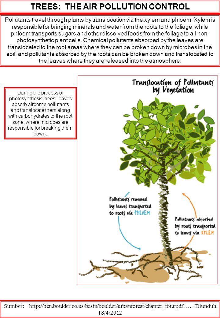 Pollutants travel through plants by translocation via the xylem and phloem.