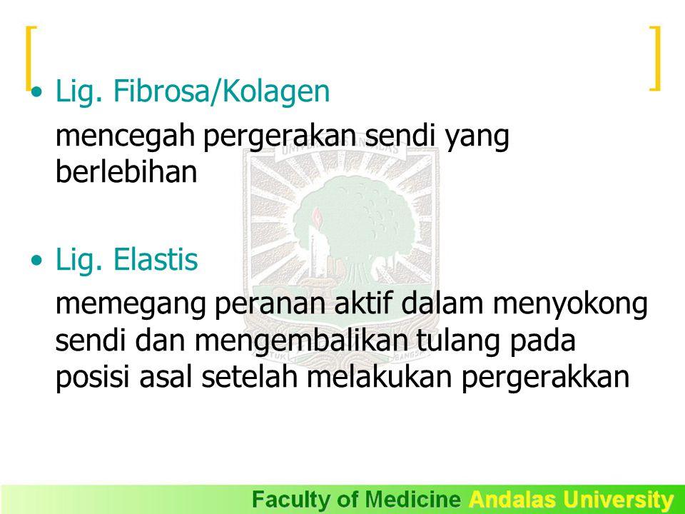 Lig. Fibrosa/Kolagen mencegah pergerakan sendi yang berlebihan Lig. Elastis memegang peranan aktif dalam menyokong sendi dan mengembalikan tulang pada