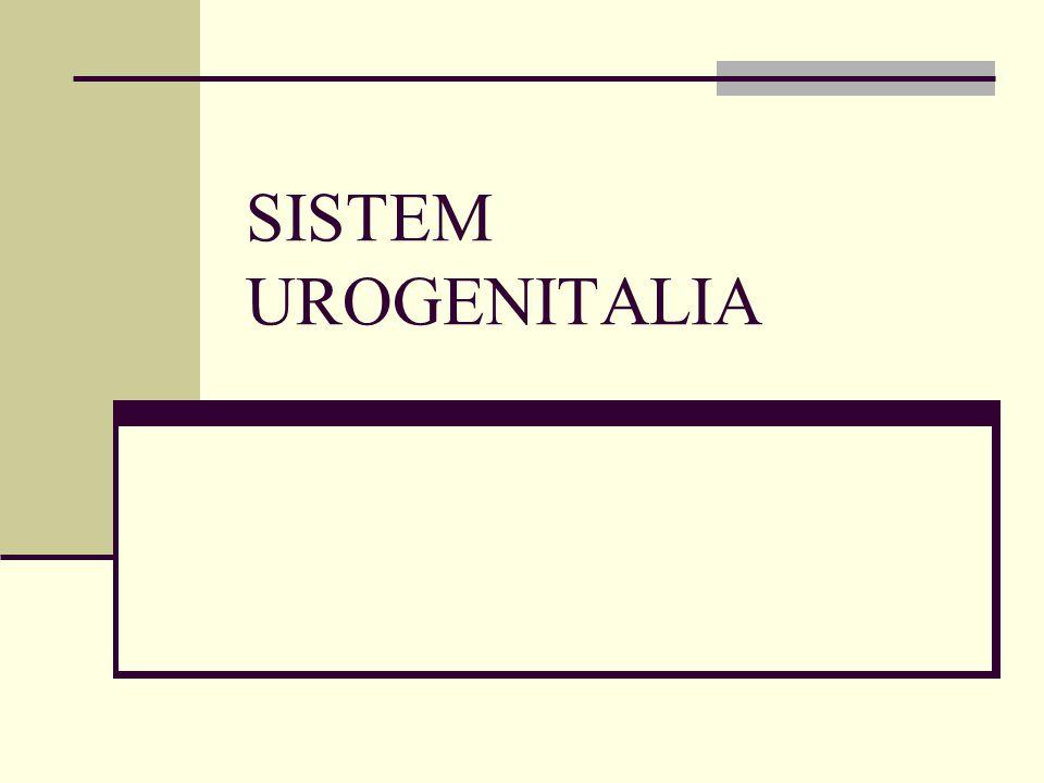 Merupakan gabungan dari sistem urinaria dan genitalia.