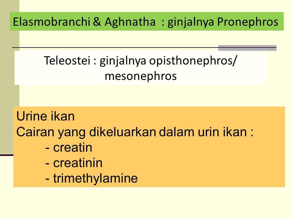 Elasmobranchi & Aghnatha : ginjalnya Pronephros Teleostei : ginjalnya opisthonephros/ mesonephros Urine ikan Cairan yang dikeluarkan dalam urin ikan : - creatin - creatinin - trimethylamine