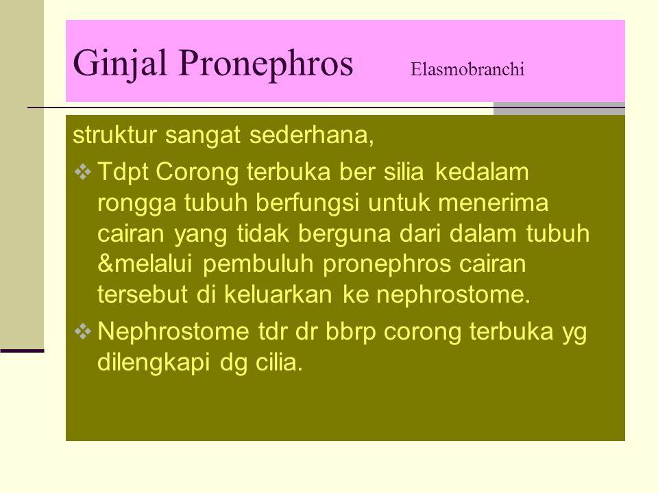 Ginjal Pronephros Elasmobranchi struktur sangat sederhana,  Tdpt Corong terbuka ber silia kedalam rongga tubuh berfungsi untuk menerima cairan yang tidak berguna dari dalam tubuh &melalui pembuluh pronephros cairan tersebut di keluarkan ke nephrostome.