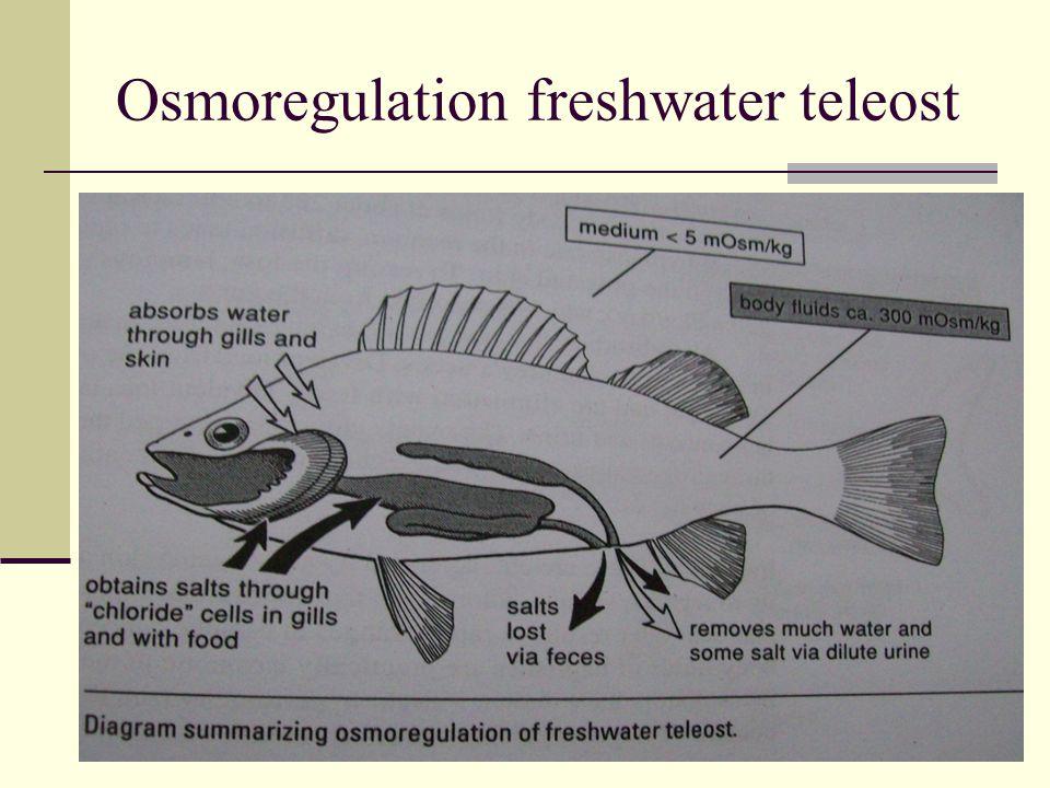 Osmoregulation freshwater teleost