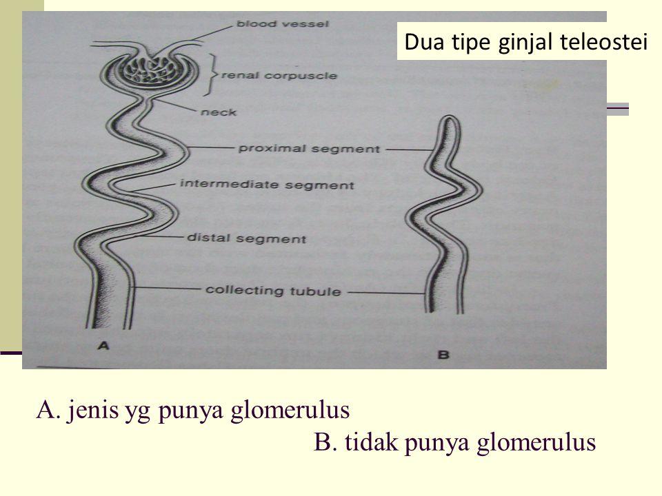 A. jenis yg punya glomerulus B. tidak punya glomerulus Dua tipe ginjal teleostei