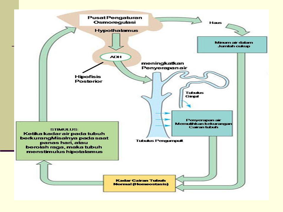 Ginjal tipe V Bagian anterior ginjal berkembang dengan baik, glomerulus ada tetapi segmen distal tidak ada.
