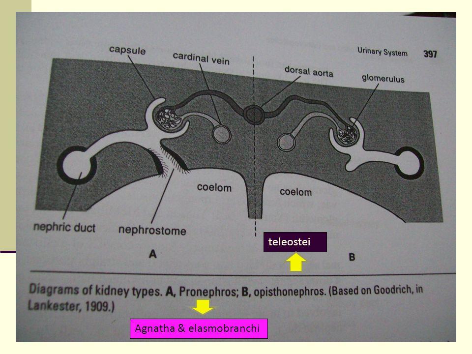 Fungsi ginjal : yang utama untuk osmoregulasi mengatur konsentrasi cairan tubuh Ikan air tawar : urine lebih encer dp plasma drh.