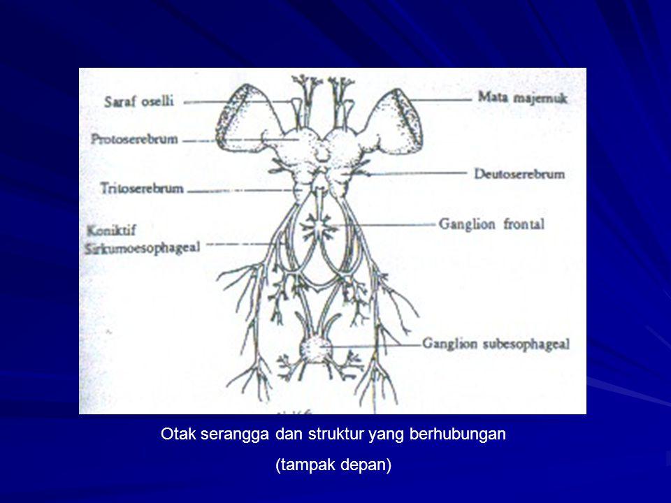 Otak serangga dan struktur yang berhubungan (tampak depan)
