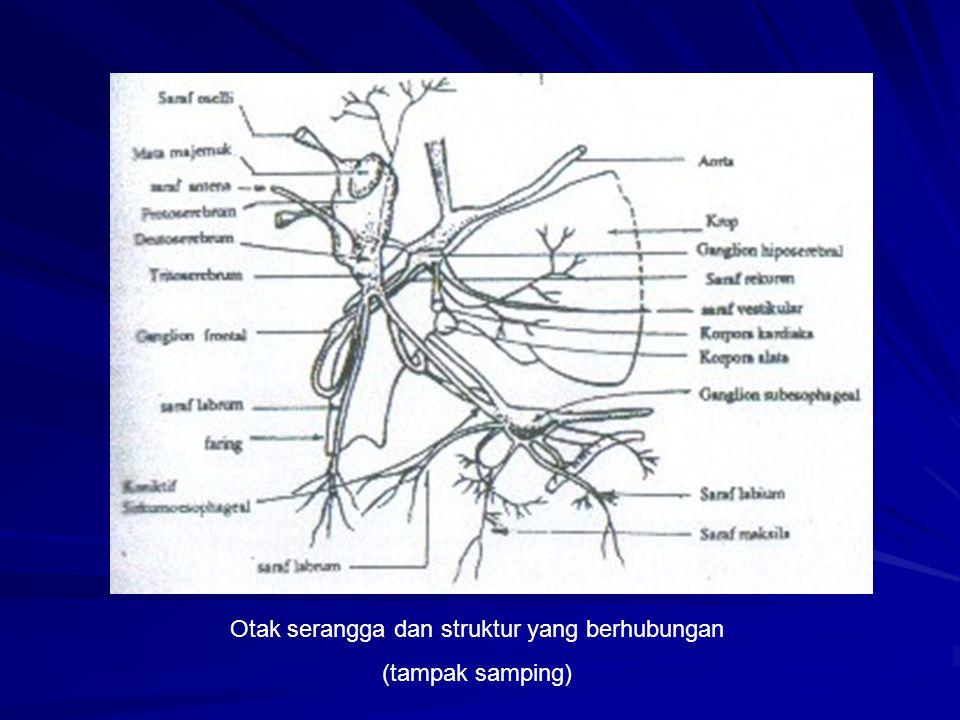 Sistem Otot Serangga mempunyai sistem otot yang terdiri atas otot serang lintang ( otot bergaris), yang berhubungan dengan saraf yang dapat menyebabkan terjadinya kontraksi otot.