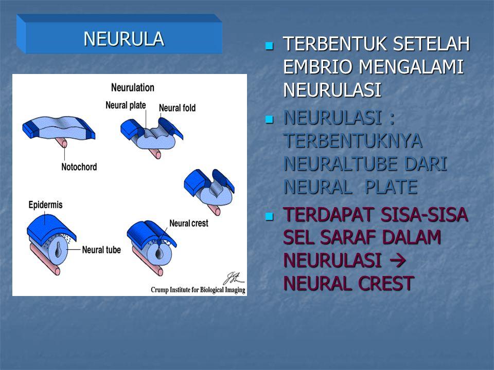NEURULA TERBENTUK SETELAH EMBRIO MENGALAMI NEURULASI TERBENTUK SETELAH EMBRIO MENGALAMI NEURULASI NEURULASI : TERBENTUKNYA NEURALTUBE DARI NEURAL PLAT