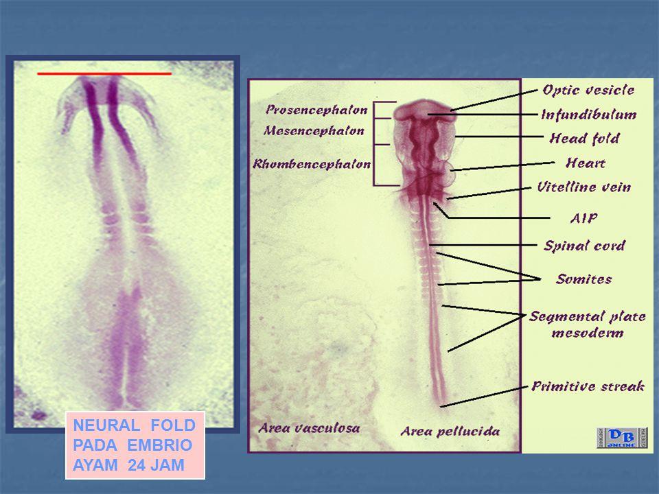 NEURAL FOLD PADA EMBRIO AYAM 24 JAM