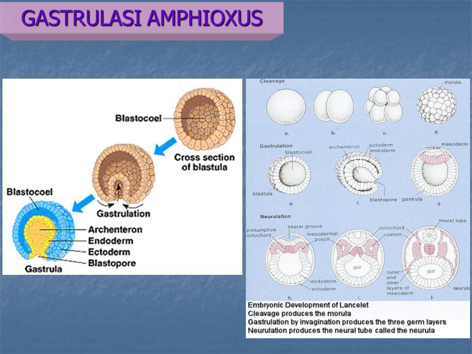 Gastrulasi pada katak Epiboli pada ektoderm Epiboli pada ektoderm Diikuti emboli Diikuti emboli Invaginasi pada blastopore (dorsal lip of blastopore, ventral & lateral) Invaginasi pada blastopore (dorsal lip of blastopore, ventral & lateral) Emboli dan epiboli berlangsung, terjadi perputaran gastrula 40 derajat berlawanan jarum jam  yolk di posterior  ventral Emboli dan epiboli berlangsung, terjadi perputaran gastrula 40 derajat berlawanan jarum jam  yolk di posterior  ventral