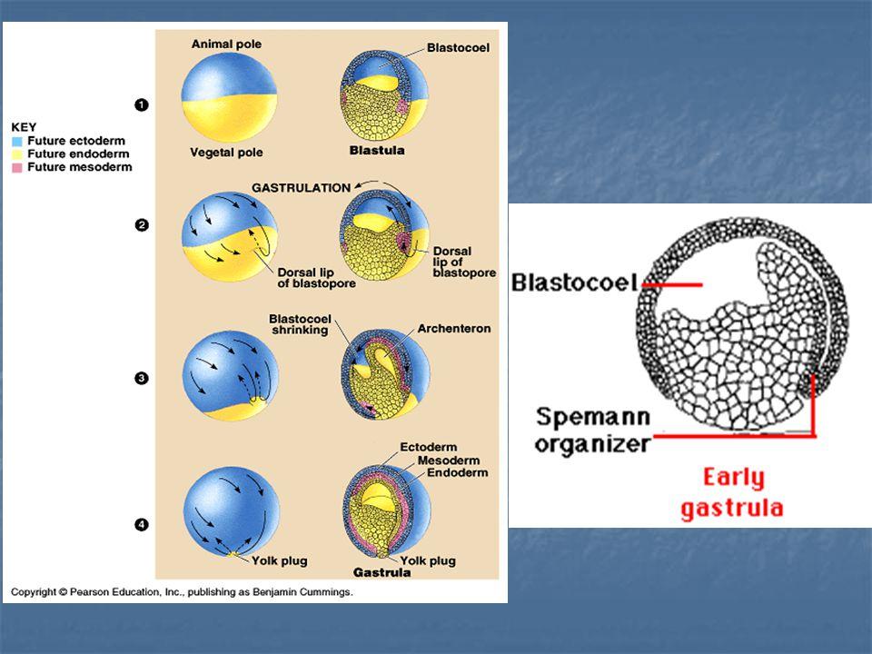 1= yolk plug 2= ventral lip of blastopore 3= Dorsal lip of blastopore A = GASTROCOEL/ ARCHENTERON