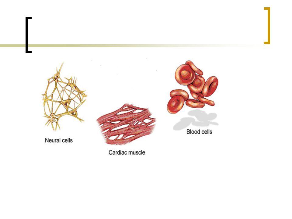 Macam-macam tulang rawan Kartilago elastis : Matriksnya agak keruh kekuning-kuningan dan banyak mengandung serabut kolagen berstruktur jala, misalnya : saluran telinga luar, daun telinga.