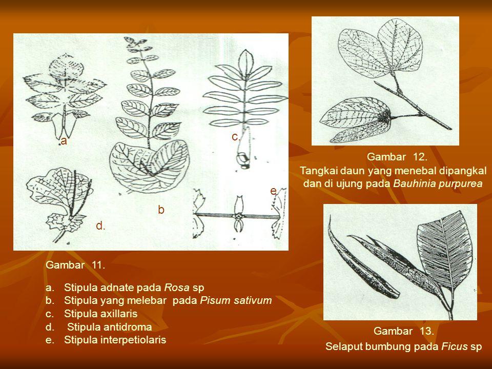 a.Stipula adnate pada Rosa sp b.Stipula yang melebar pada Pisum sativum c.Stipula axillaris d. Stipula antidroma e.Stipula interpetiolaris Gambar 11.