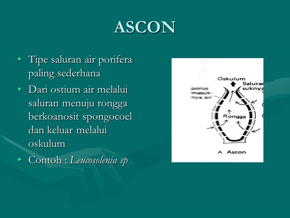 ASCON Tipe saluran air porifera paling sederhanaTipe saluran air porifera paling sederhana Dari ostium air melalui saluran menuju rongga berkoanosit s
