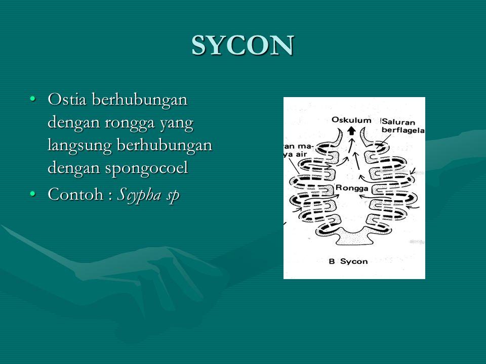 SYCON Ostia berhubungan dengan rongga yang langsung berhubungan dengan spongocoelOstia berhubungan dengan rongga yang langsung berhubungan dengan spon