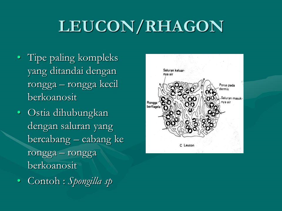 LEUCON/RHAGON Tipe paling kompleks yang ditandai dengan rongga – rongga kecil berkoanositTipe paling kompleks yang ditandai dengan rongga – rongga kec