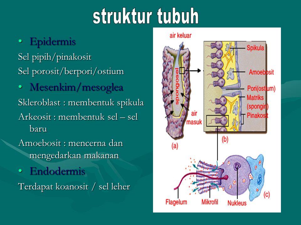 EpidermisEpidermis Sel pipih/pinakosit Sel porosit/berpori/ostium Mesenkim/mesogleaMesenkim/mesoglea Skleroblast : membentuk spikula Arkeosit : memben