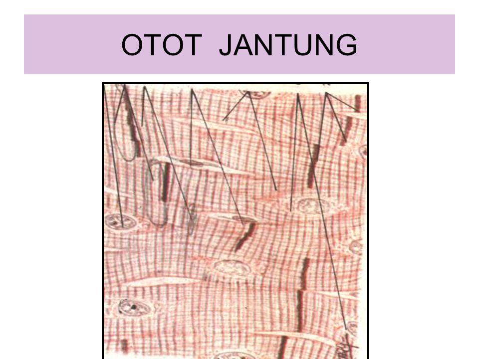 OTOT JANTUNG