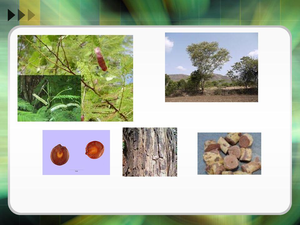  Cara Pemanenan dan Pengumpulan [5-6] Cutch diperdagangkan dalam bentuk ekstrak padat, dan diperoleh dari teras kayu.