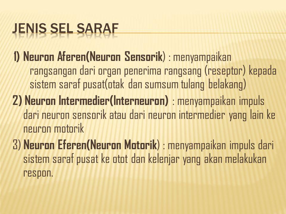 1) Neuron Aferen(Neuron Sensorik ) : menyampaikan rangsangan dari organ penerima rangsang (reseptor) kepada sistem saraf pusat(otak dan sumsum tulang