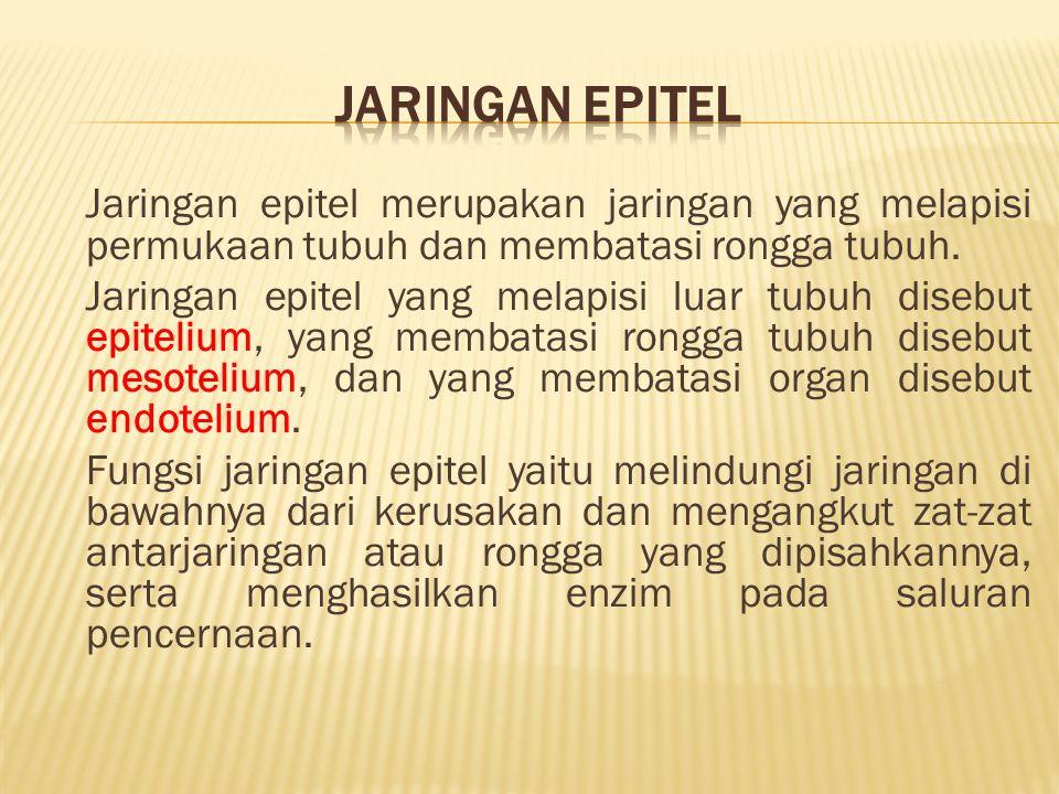 Jaringan epitel merupakan jaringan yang melapisi permukaan tubuh dan membatasi rongga tubuh. Jaringan epitel yang melapisi luar tubuh disebut epiteliu