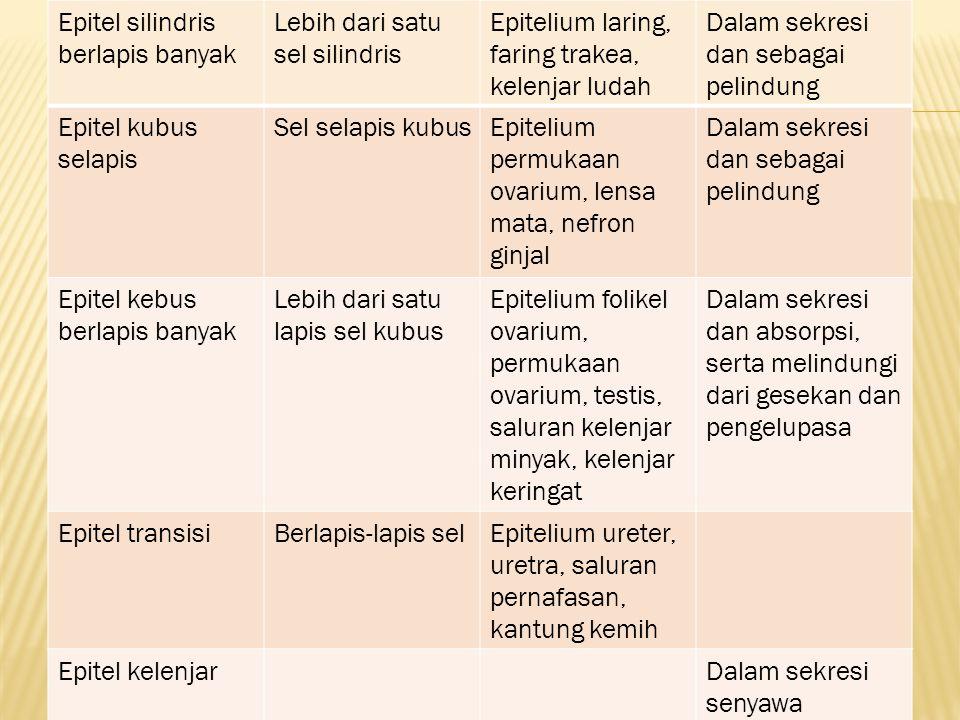 Epitel silindris berlapis banyak Lebih dari satu sel silindris Epitelium laring, faring trakea, kelenjar ludah Dalam sekresi dan sebagai pelindung Epi