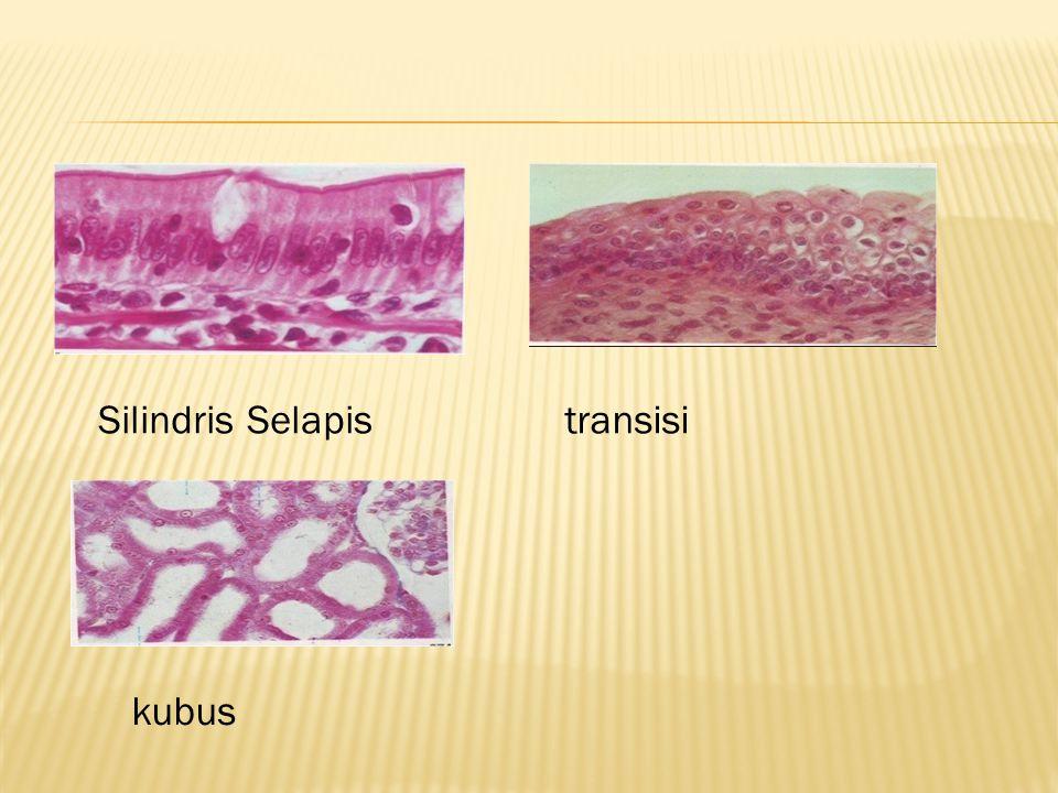 Jaringan ikat berkembang dari mesenkim yang berasal dari mesoderm (lapisan tengah embrio).