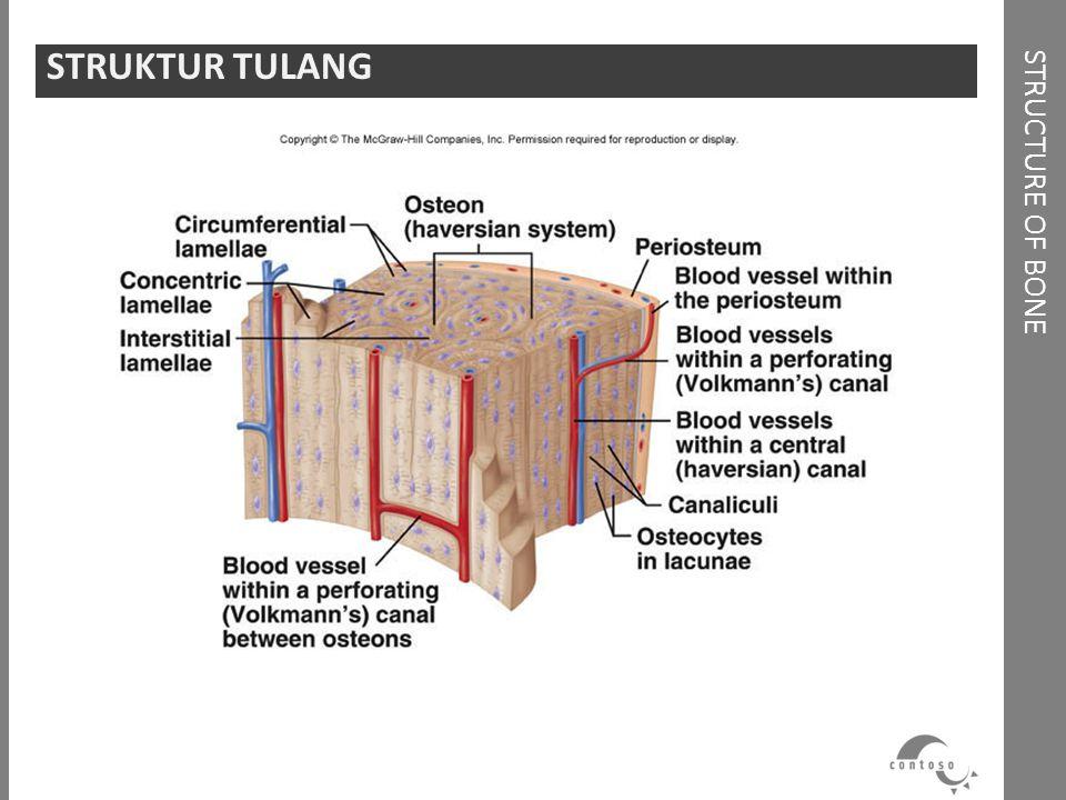 STRUCTURE OF BONE STRUKTUR TULANG