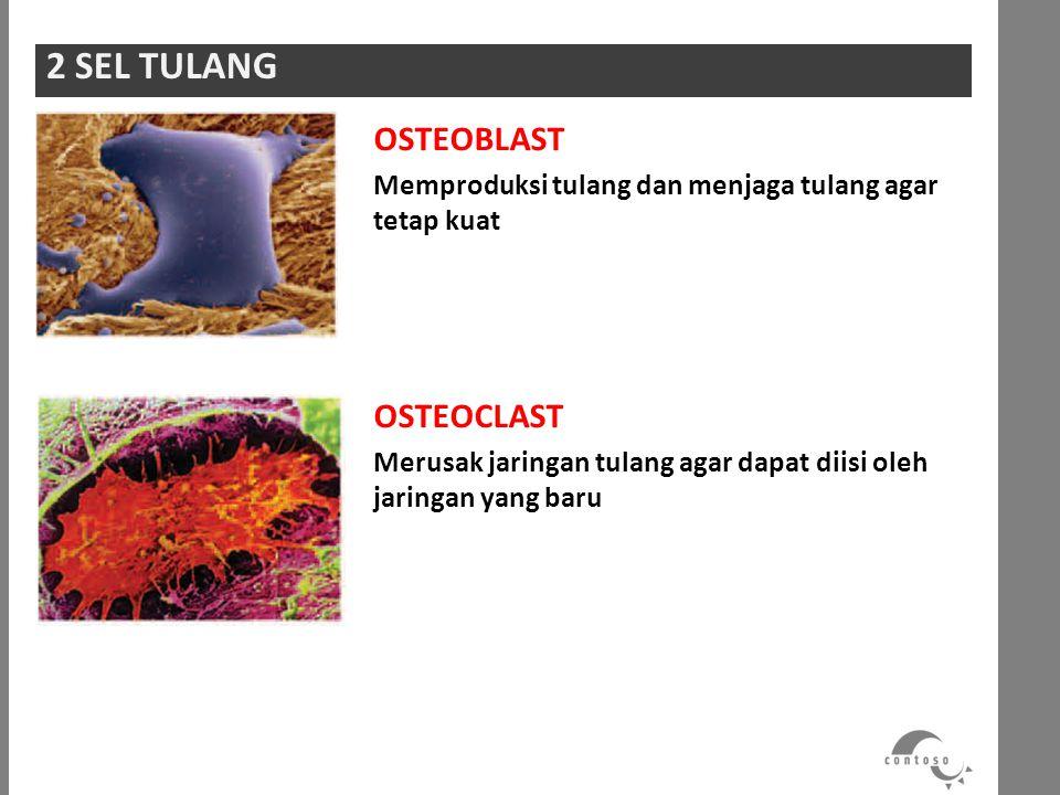 OSTEOBLAST Memproduksi tulang dan menjaga tulang agar tetap kuat OSTEOCLAST Merusak jaringan tulang agar dapat diisi oleh jaringan yang baru 2 SEL TUL