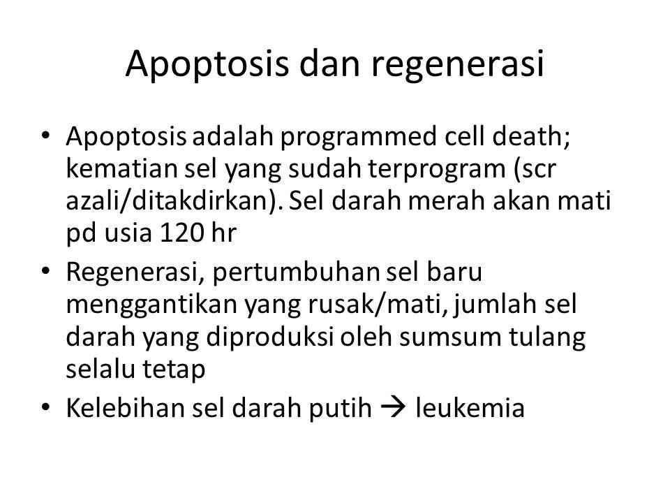 Apoptosis dan regenerasi Apoptosis adalah programmed cell death; kematian sel yang sudah terprogram (scr azali/ditakdirkan). Sel darah merah akan mati