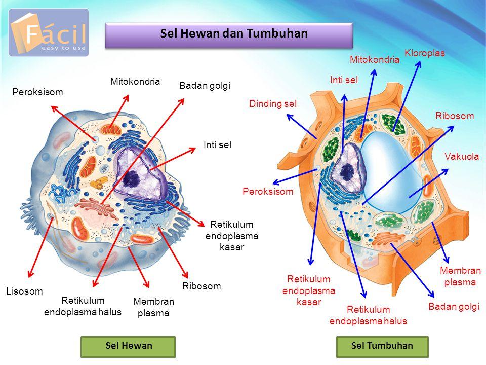 Sel Hewan dan Tumbuhan Inti sel Mitokondria Badan golgi Lisosom Retikulum endoplasma halus Retikulum endoplasma kasar Membran plasma Ribosom Peroksiso