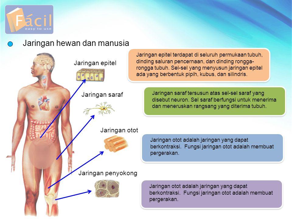 Jaringan hewan dan manusia Jaringan epitel terdapat di seluruh permukaan tubuh, dinding saluran pencernaan, dan dinding rongga- rongga tubuh. Sel-sel