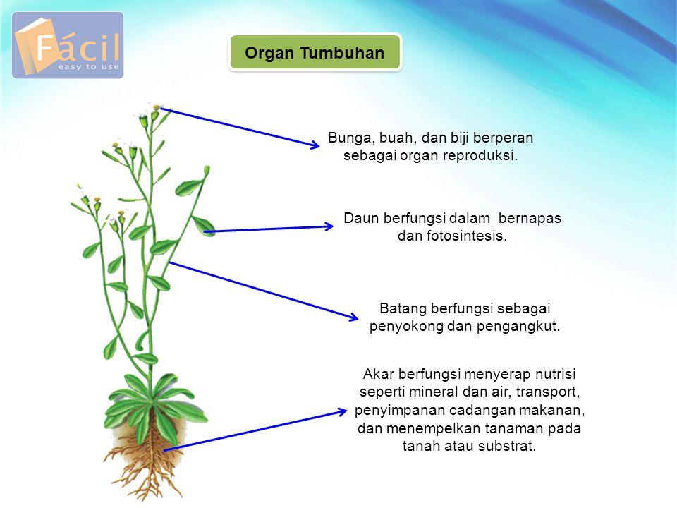 Bunga, buah, dan biji berperan sebagai organ reproduksi. Organ Tumbuhan Daun berfungsi dalam bernapas dan fotosintesis. Batang berfungsi sebagai penyo