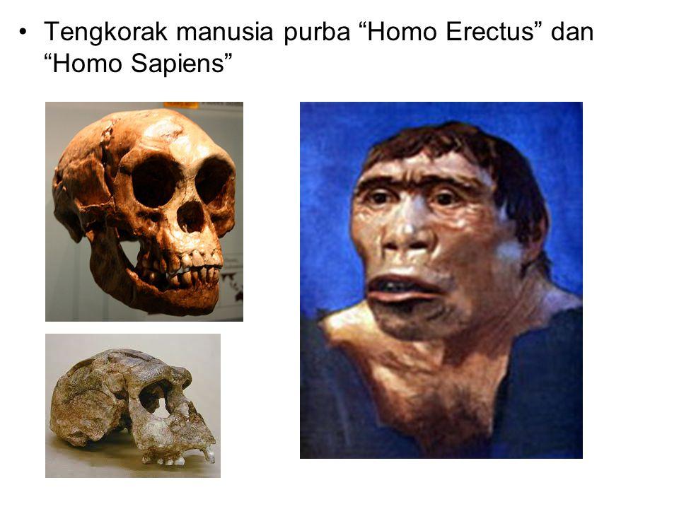"Tengkorak manusia purba ""Homo Erectus"" dan ""Homo Sapiens"""