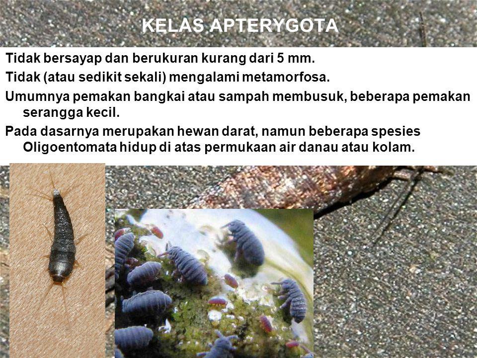 KELAS APTERYGOTA Tidak bersayap dan berukuran kurang dari 5 mm. Tidak (atau sedikit sekali) mengalami metamorfosa. Umumnya pemakan bangkai atau sampah