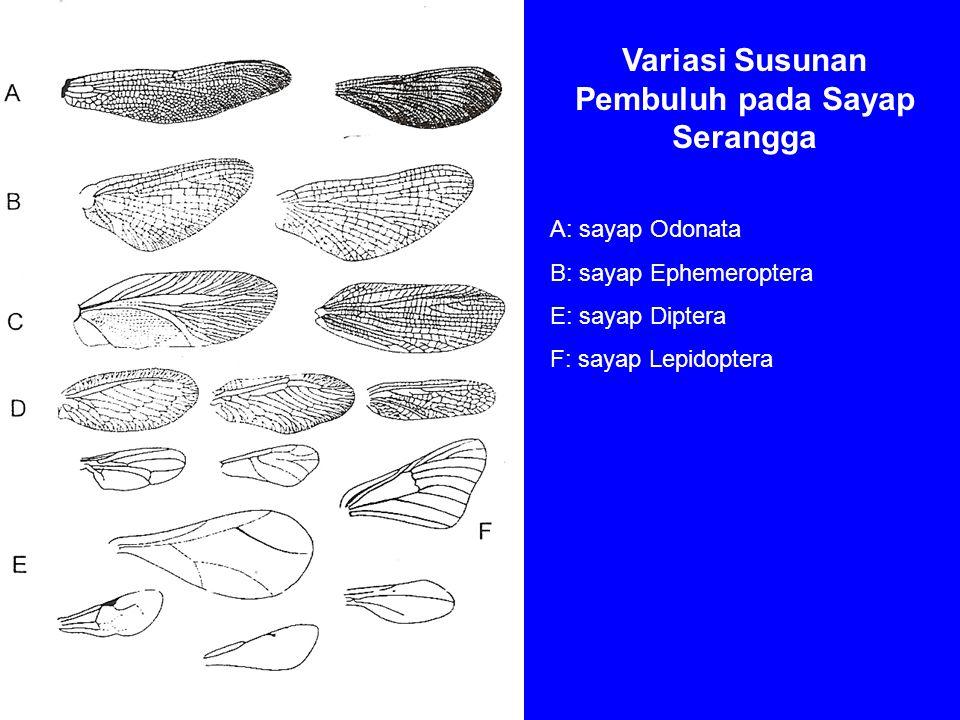 Variasi Susunan Pembuluh pada Sayap Serangga A: sayap Odonata B: sayap Ephemeroptera E: sayap Diptera F: sayap Lepidoptera