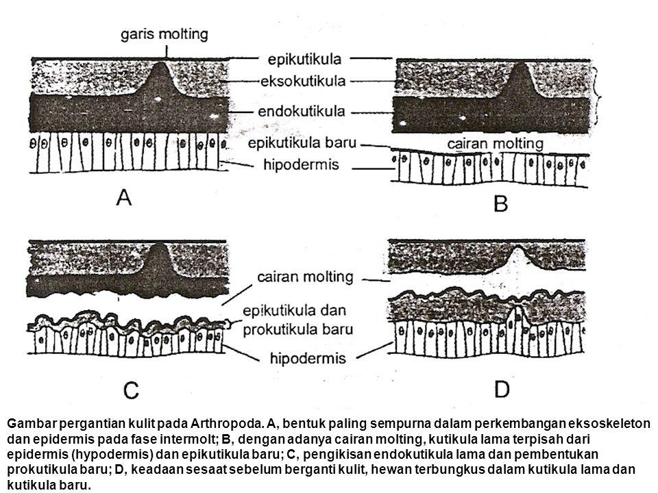 Gambar pergantian kulit pada Arthropoda. A, bentuk paling sempurna dalam perkembangan eksoskeleton dan epidermis pada fase intermolt; B, dengan adanya
