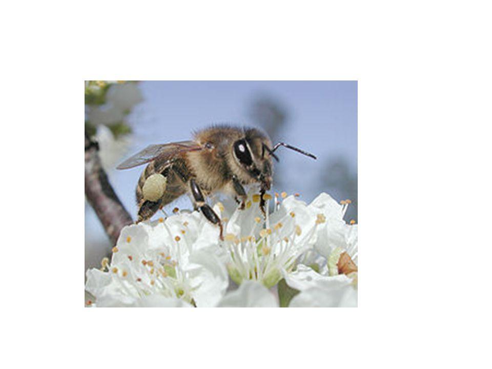 Bagian-bagian tubuh Serangga Perwakilan Serangga : Belalang Tubuh serangga dibagi menjadi tiga bagian: 1.Kepala terdiri dari satu segmen yang merupakan penggabungan dari 6 segmen.