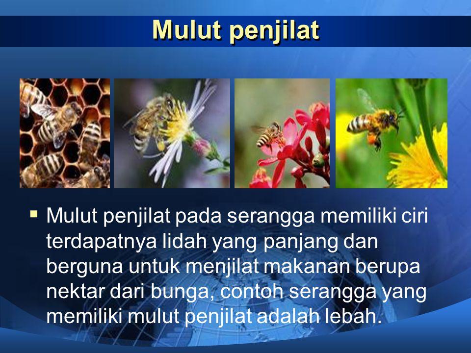 Mulut penusuk dan penghisap  Mulut penusuk dan penghisap pada serangga memiliki ciri bentuk yang tajam dan panjang. Contoh serangga yang memiliki mul