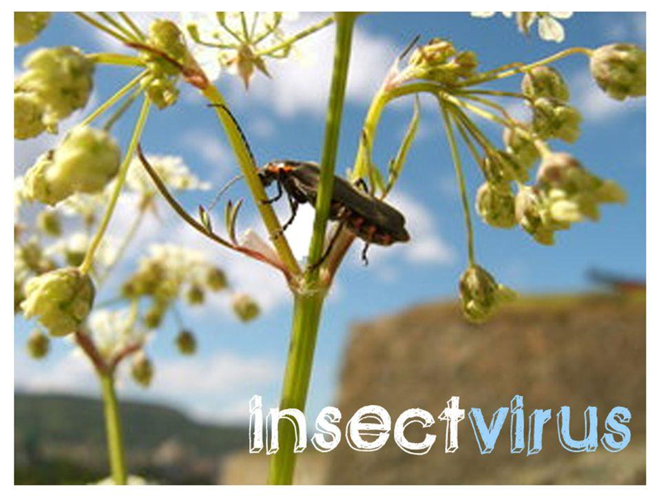 Wilting Disease Serangga yang terinfeksi baculovirus : berkilau seperti minyak, rapuh, dan mengandung cairan bervirus.