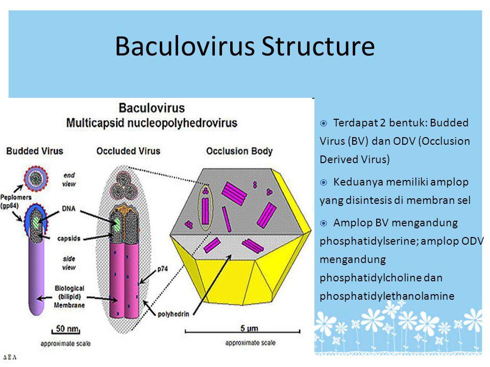 Baculovirus Structure  Terdapat 2 bentuk: Budded Virus (BV) dan ODV (Occlusion Derived Virus)  Keduanya memiliki amplop yang disintesis di membran s