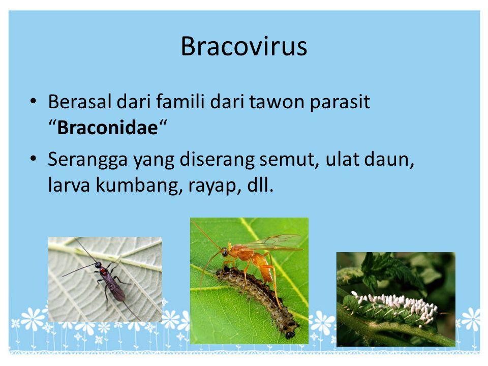 """Bracovirus Berasal dari famili dari tawon parasit """"Braconidae"""" Serangga yang diserang semut, ulat daun, larva kumbang, rayap, dll."""