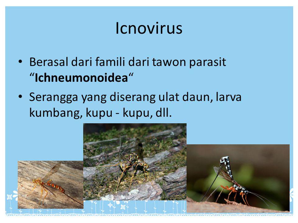 """Icnovirus Berasal dari famili dari tawon parasit """"Ichneumonoidea"""" Serangga yang diserang ulat daun, larva kumbang, kupu - kupu, dll."""
