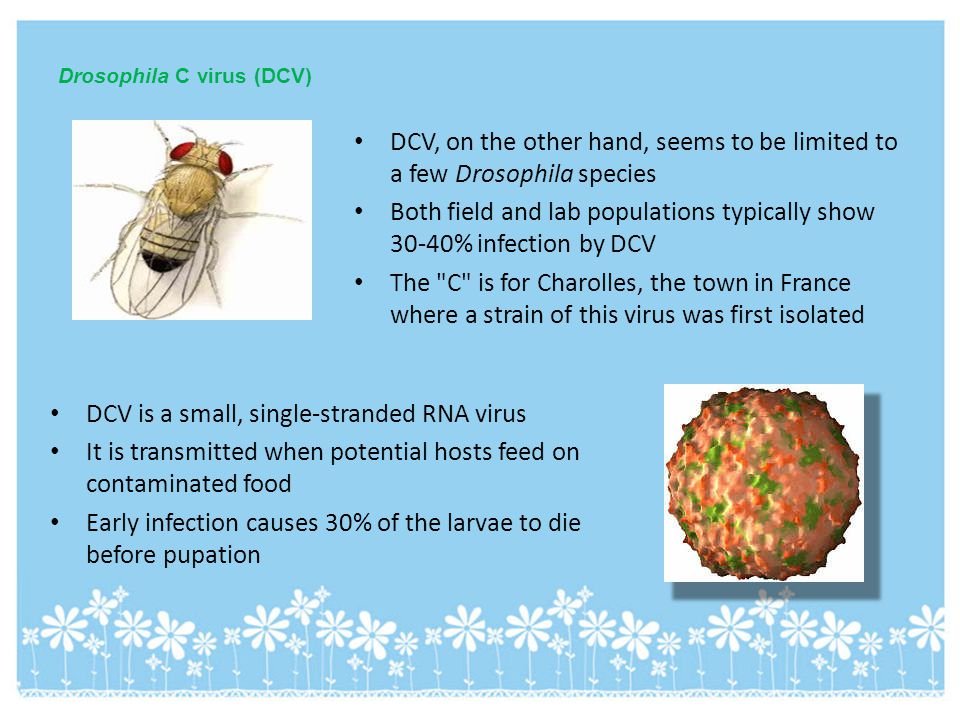 Drosophila C virus (DCV) DCV, on the other hand, seems to be limited to a few Drosophila species Both field and lab populations typically show 30-40%
