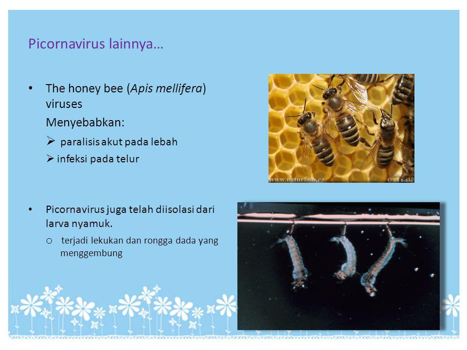 Picornavirus lainnya… The honey bee (Apis mellifera) viruses Menyebabkan:  paralisis akut pada lebah  infeksi pada telur Picornavirus juga telah dii